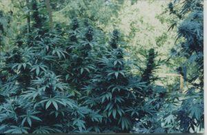 Northern Afghan strain, Humboldt 1970s
