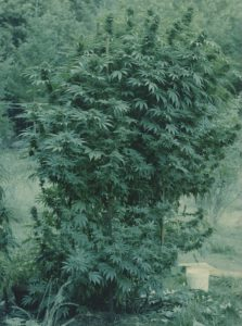 Northern Afghan landrace outdoors in Humboldt, 1970s