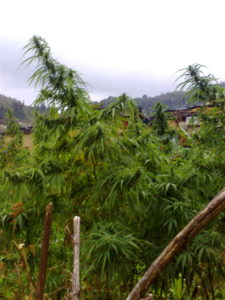 pure Himalayan landrace sourced by The Real Seed Company